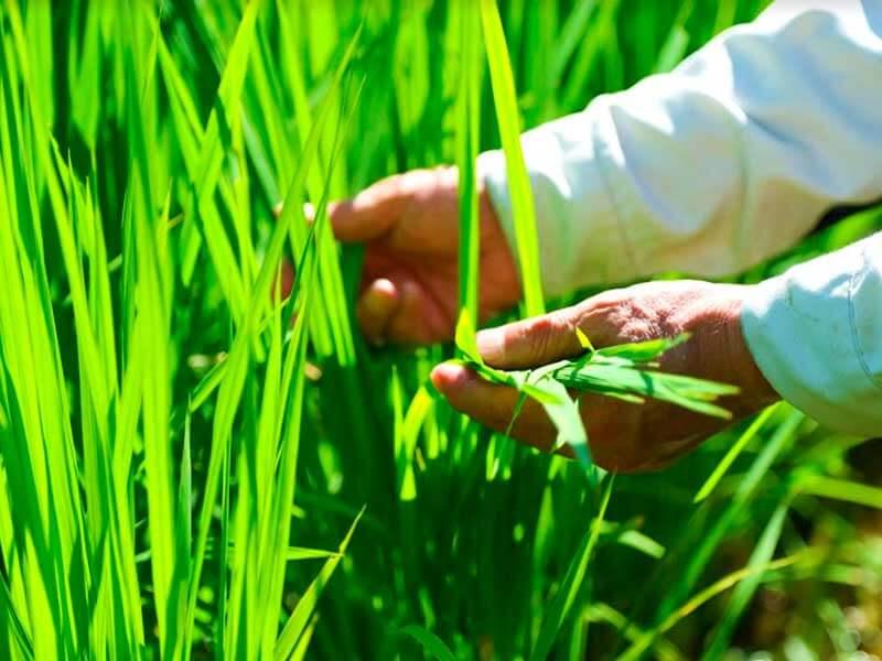 出穂間近の稲の観察